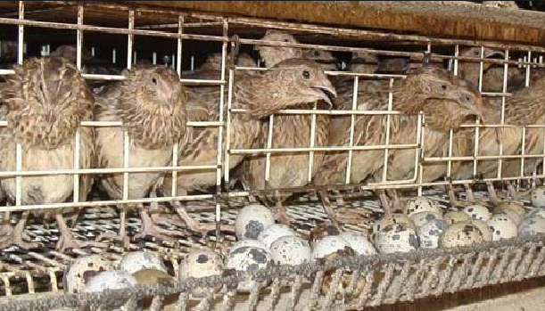 Wirausaha Burung Puyuh Di Aceh Potret Online