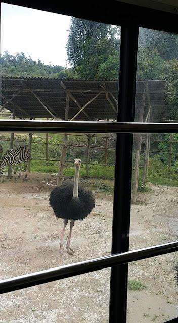Burung Unta di Bukit Gambang Safari Park