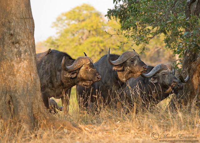 buffalo herd 3 KNP 2011