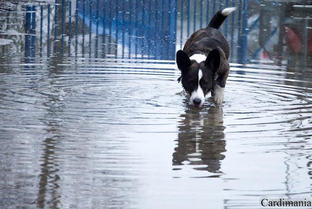 narew, zegrze, zalew zegrzyński, zalew, woda, pies w podróży, podróże z psem, z psem nad wodą, yuma, biba, twiggy, corgi, welsh corgi, welsh corgi cardigan, cardigan