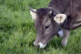 contoh prehensi pada sapi