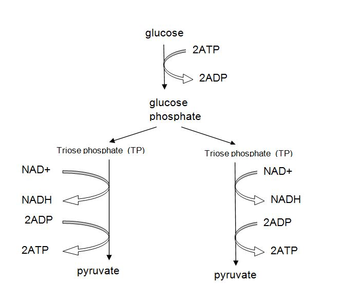 Wigton physics year 12 applied science glycolysis reaction however it does involve the glycolysis reaction in the cytoplasm of the cell that we have studied here it is ccuart Images