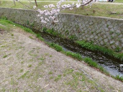 交野市星田・傍示川沿いの桜