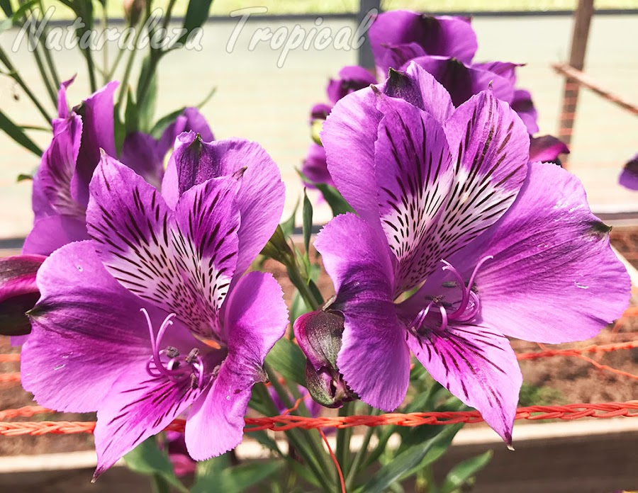 Lirio del Perú con flores púrpuras-rosáceas y blancas manchadas, género Alstroemeria