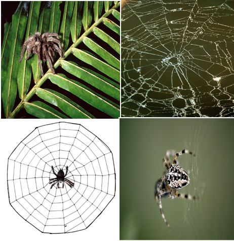 Spiders, Spider Amazing Facts