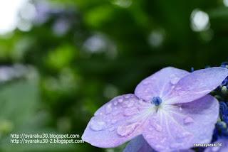 雨上がりのガクアジサイ(マクロ)写真