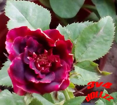 Mawar merah kelopak bulat. Pretty Rose.