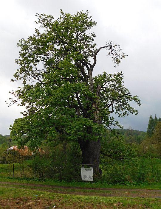 Klon pospolity (Acer platanoides L.).