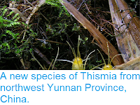 http://sciencythoughts.blogspot.co.uk/2013/10/a-new-species-of-thismia-from-northwest.html