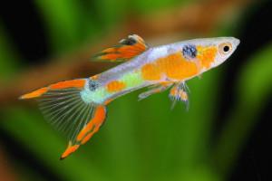 Dunia Ikan Hias - Endlers Livebearer