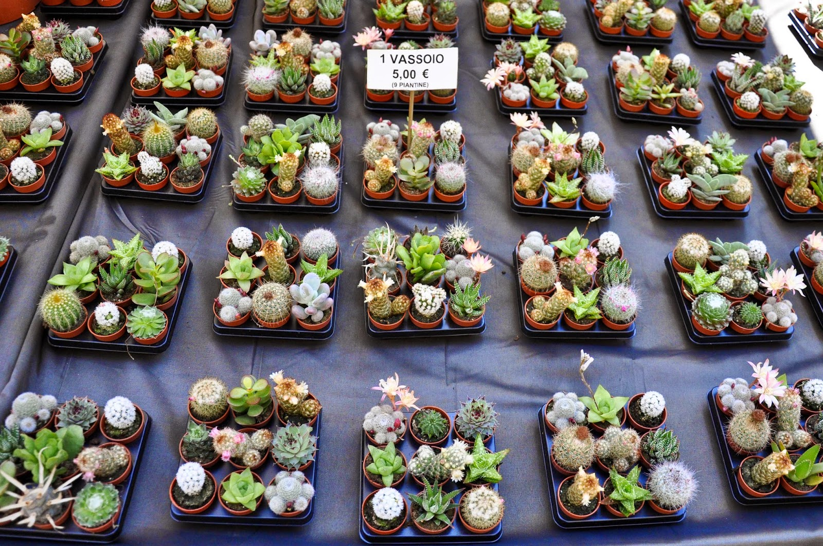 Mini cacti, 7th Edition of 'Fiori, colori, e...' - Floriculture market show, Vicenza, Italy