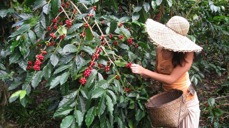 coffee, coffee harvest, wwoof, workaway, kona