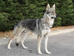 Dix races de chiens les plus dangereuses Dans le monde