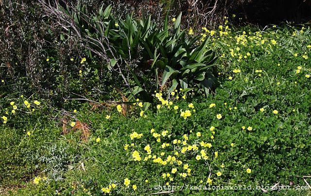 Spring flowers, Kefalonia