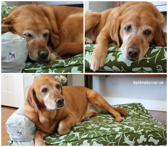 golden labrador dog sleeping on molly mutt duvet cover, dog bed