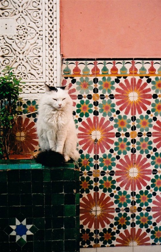 marrakesh cat