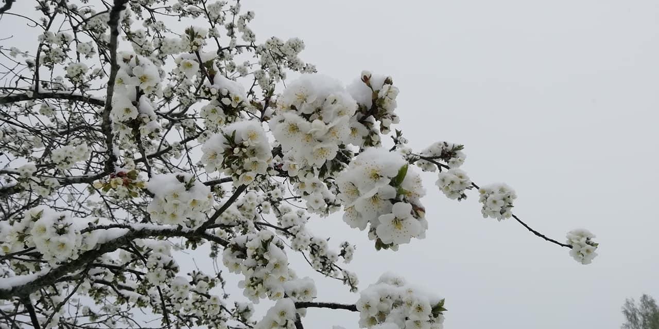 Sniegs maijā klāj uzplaukušos ziedus 3
