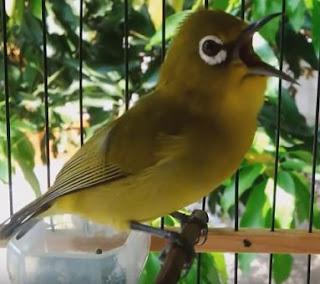 Suara Burung Pleci Ngalas Ngerol