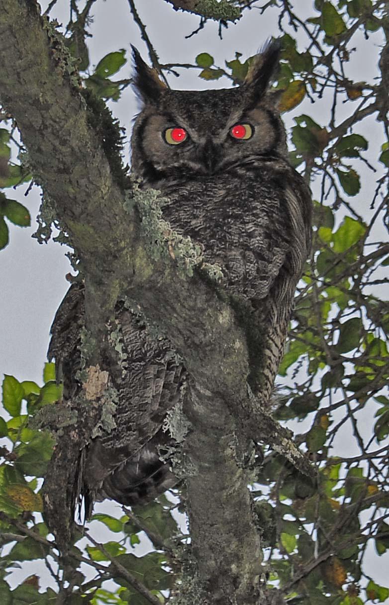 Corujas (Ordem Strigiformes)