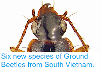 http://sciencythoughts.blogspot.co.uk/2014/05/six-new-species-of-ground-beetles-from.html