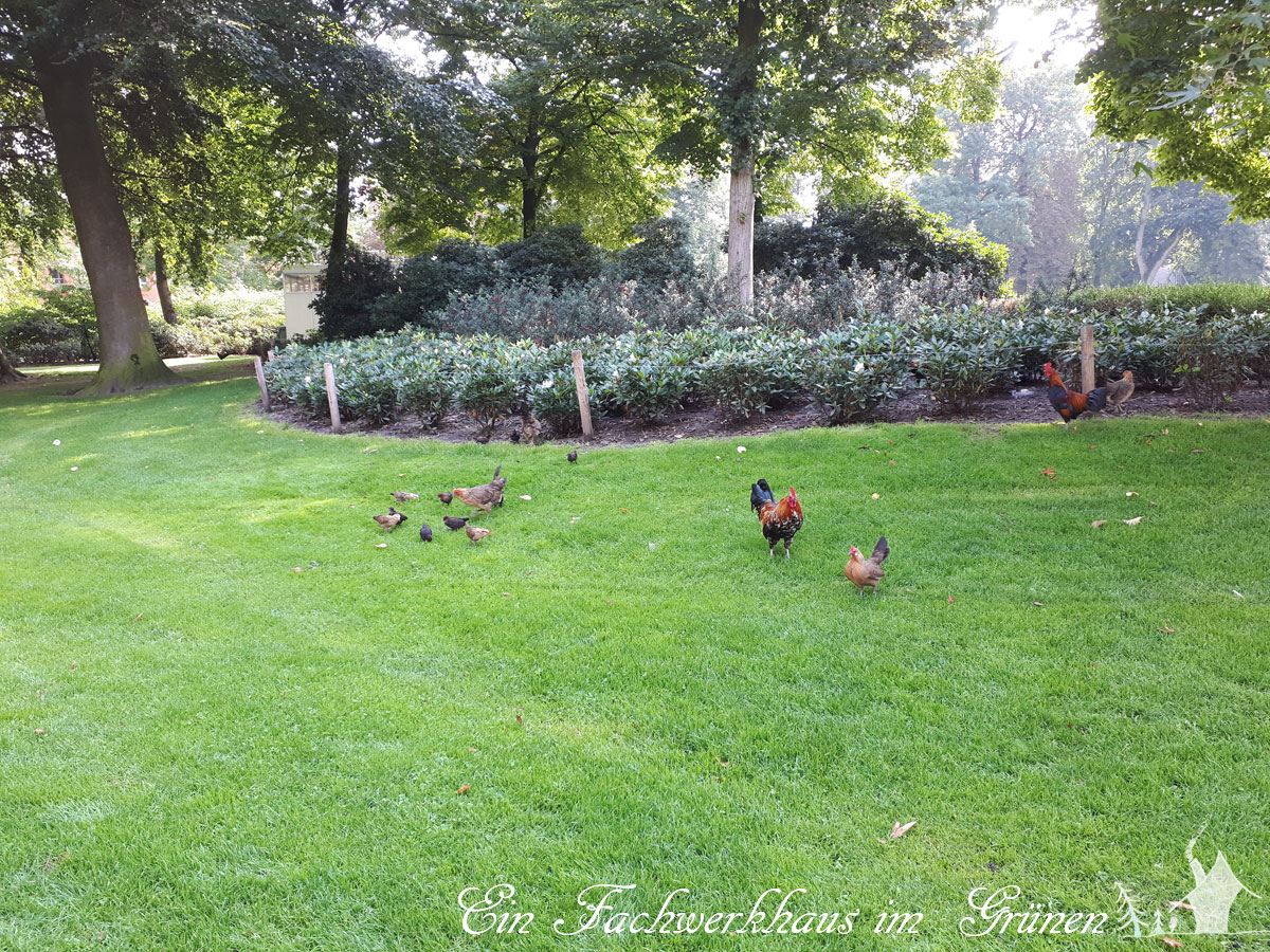 Breda, Hühner