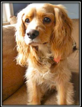 Max is a cocker spaniel cavalier mix with a bit of sheltie.