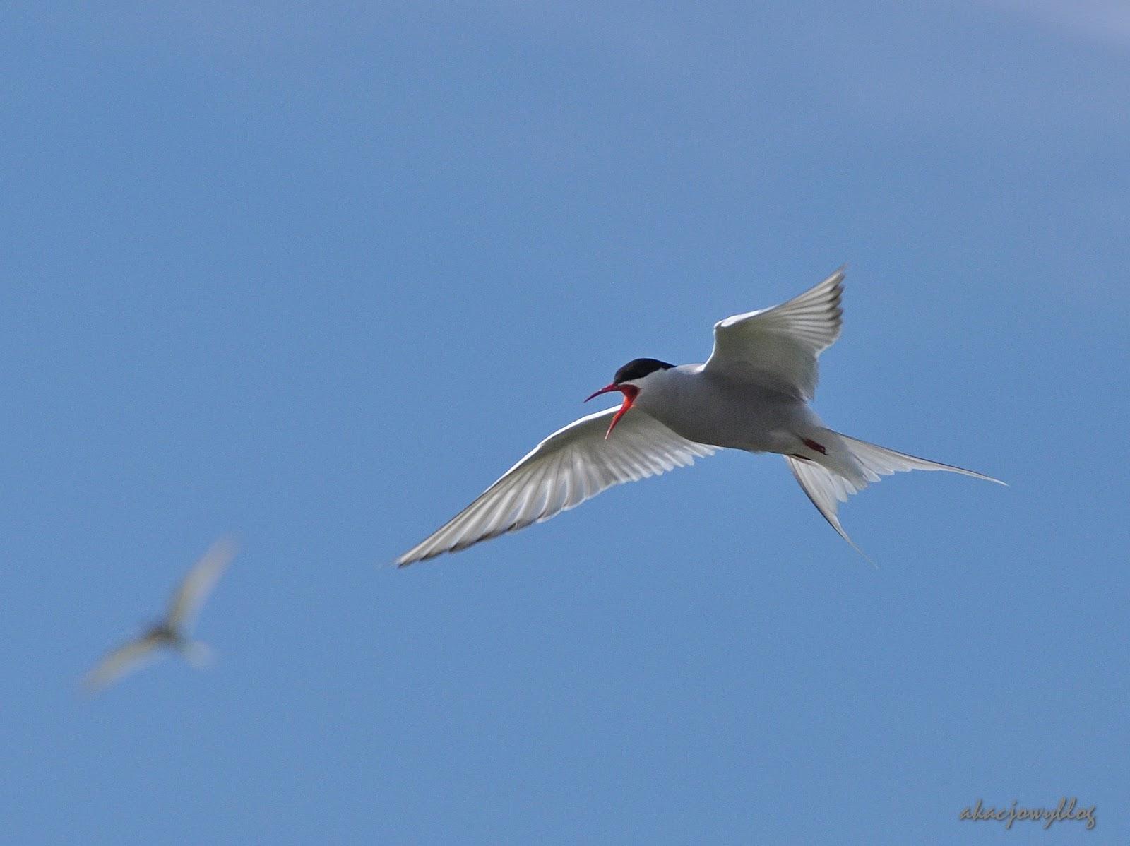 Najdłuższe migracje w świecie ptaków czyli wędrówki rybitw popielatych.