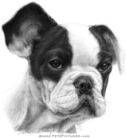 07-French-Bulldog-Susan-Donley-Cats-and-Dogs-Featured-in-Pencil-Portraits-www-designstack-co