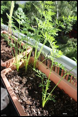 carottes du balcon