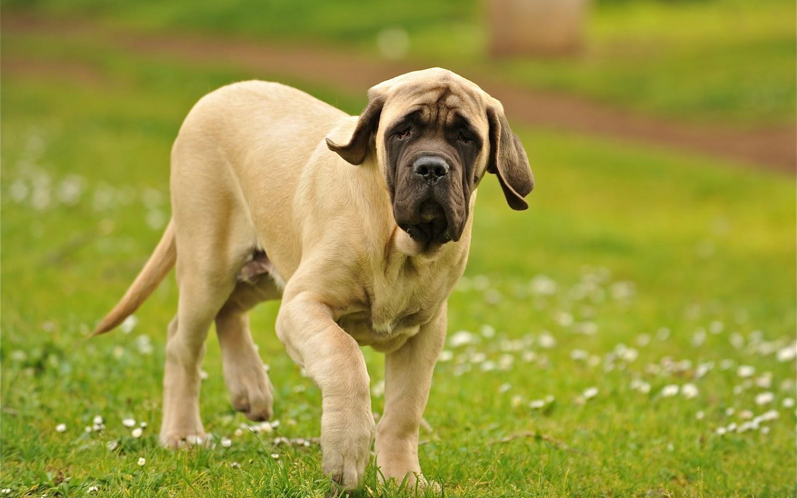 Best Working Dog Breeds