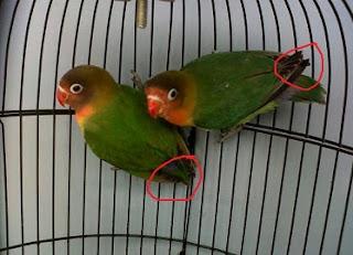 membedakan lovebird jantan dan betina umur 2 bulan,cara membedakan lovebird jantan dan betina dewasa,cara membedakan lovebird jantan dan betina umur 3 bulan,