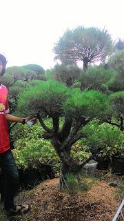 harga jual pohon bonsai cemara udang harga murah , ukuran bervariasi
