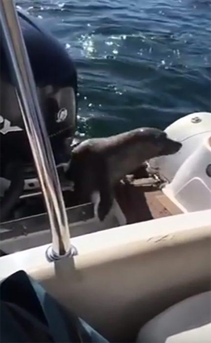 Una foca se refugia en un bote para huír de orcas asesinas