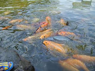umpan mancing ikan mas air dingin