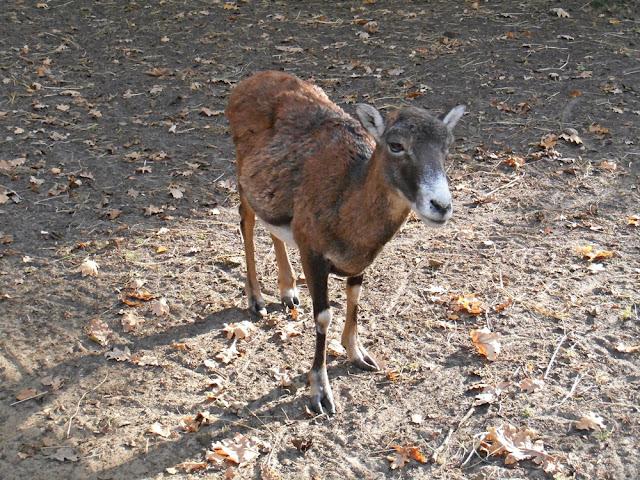 zwierzę kopytne, zoo, Nowy Tomyśl, wybieg