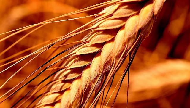 grano saragolla e mediterraneo, foodfilebasilicata