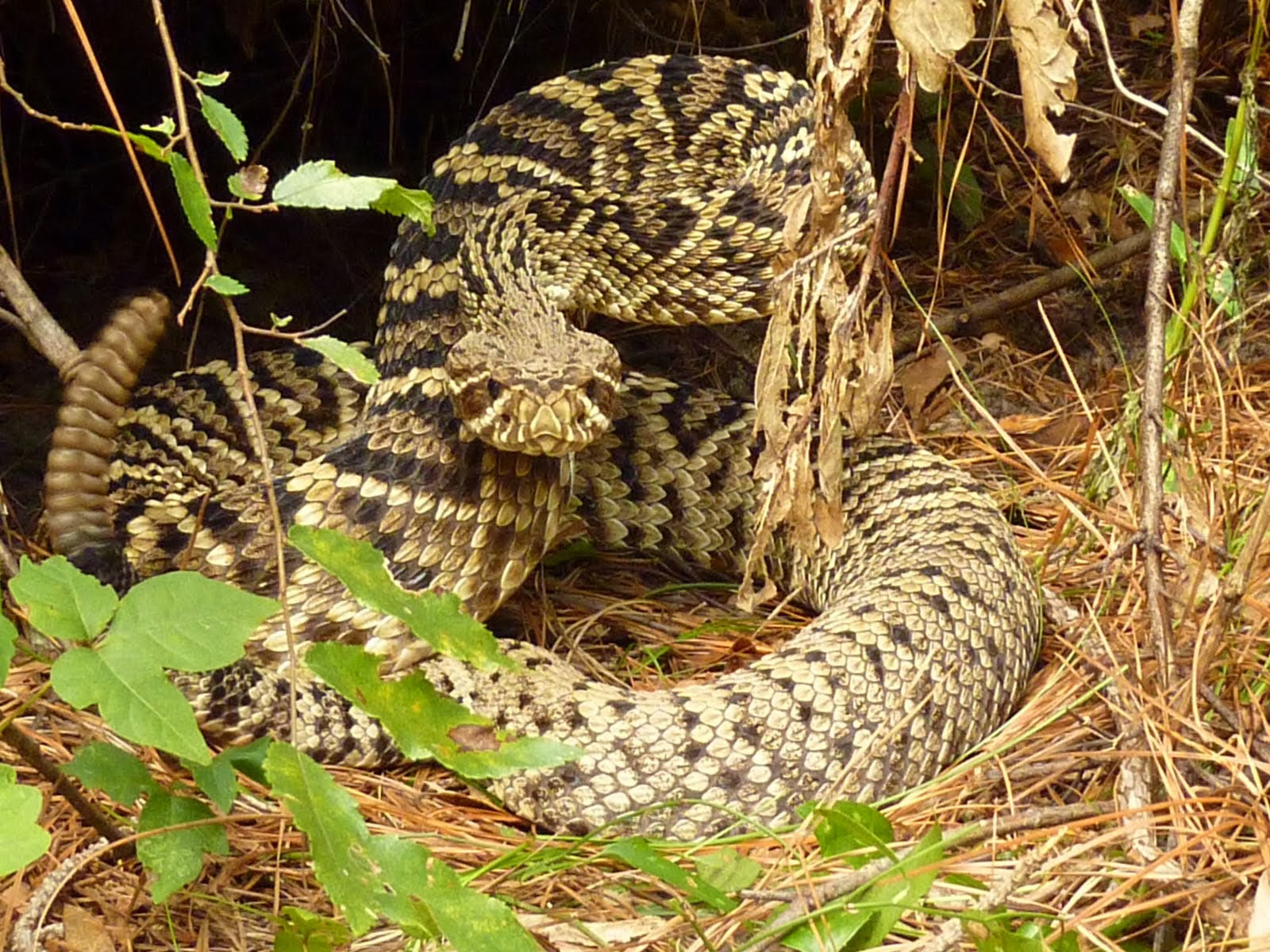 Wallpapers Rattlesnake Wallpapers