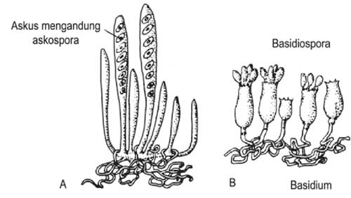 macam-macam bentuk spora seksual jamur fungi