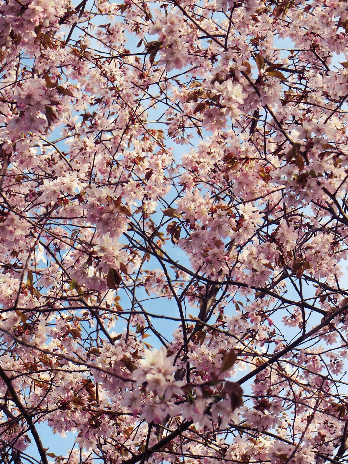 kirsikankukkia, kirsikankukat, cherry blossom, cherry blossoms, cherry blossom tree