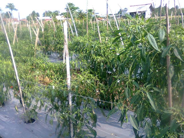 Pemberian Tiang Ajir Dari Bambu Serta Mulsa Pada Tanaman Cabe