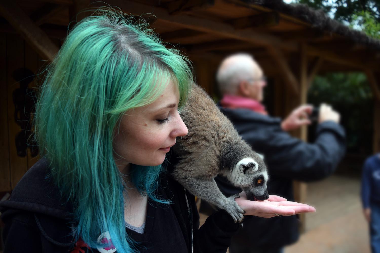 Nourrir les lémuriens, le goûter des Maki Kata du zoo de la Flèche, au Safari Lodge