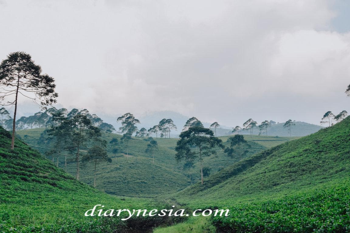 Best Places to Visit in Karanganyar, Karanganyar Tea Plantation, things to do in karanganyar, diarynesia