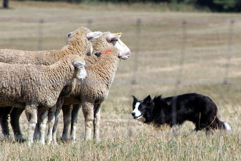Image result for border collie giving the eye