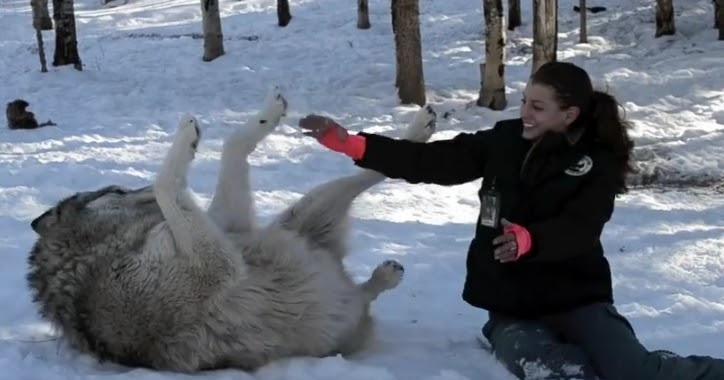 White Wolf : The heartwarming moment the giant timber wolf ...
