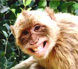 Laughing furry monkey