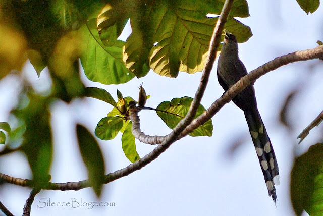 Green-billed Malkoha - birding activity
