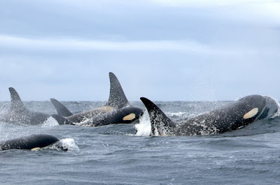 Orcas (killer whales) have unique communication abilities within their groups