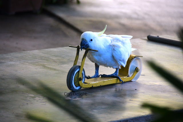 parrot on a scooter תוכי על קורקינט