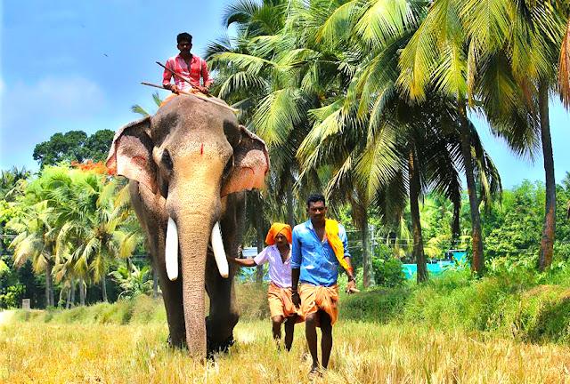 Male ♂ Asian elephant (Elephas maximus) Thechikkottu Kavu Ramachandran at Thechikkottukavu Peramangalthu Devaswom