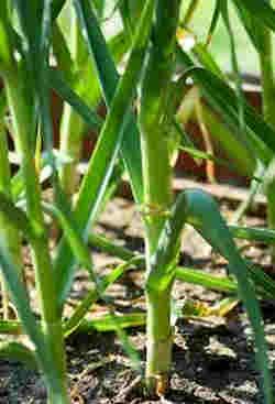 tanaman bawang putih